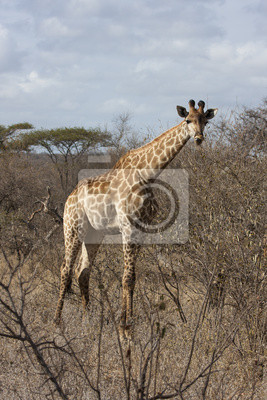 Постер Животные Kapgiraffe (G. c. giraffa), 20x30 см, на бумагеЖирафы<br>Постер на холсте или бумаге. Любого нужного вам размера. В раме или без. Подвес в комплекте. Трехслойная надежная упаковка. Доставим в любую точку России. Вам осталось только повесить картину на стену!<br>