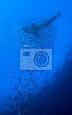 Китовая акула со школой рыб, Кайо-Ларго, Куба, 20x32 см, на бумагеАкулы<br>Постер на холсте или бумаге. Любого нужного вам размера. В раме или без. Подвес в комплекте. Трехслойная надежная упаковка. Доставим в любую точку России. Вам осталось только повесить картину на стену!<br>