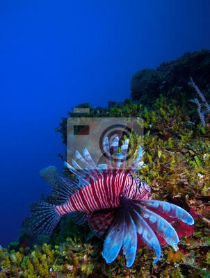 Постер Куба Крылатки (Pterois), рядом кораллы, Кайо-Ларго, КубаКуба<br>Постер на холсте или бумаге. Любого нужного вам размера. В раме или без. Подвес в комплекте. Трехслойная надежная упаковка. Доставим в любую точку России. Вам осталось только повесить картину на стену!<br>