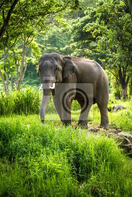Постер Таиланд Зрелые слон, с длинными бивнями стоит в лесуТаиланд<br>Постер на холсте или бумаге. Любого нужного вам размера. В раме или без. Подвес в комплекте. Трехслойная надежная упаковка. Доставим в любую точку России. Вам осталось только повесить картину на стену!<br>