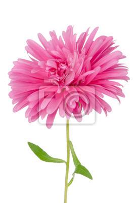 Постер Ромашки Розовый цветок ромашкаРомашки<br>Постер на холсте или бумаге. Любого нужного вам размера. В раме или без. Подвес в комплекте. Трехслойная надежная упаковка. Доставим в любую точку России. Вам осталось только повесить картину на стену!<br>
