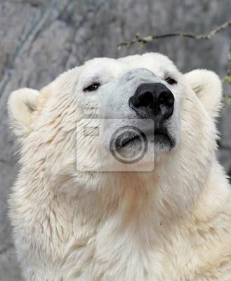 Постер Медведи Медведь портрет. ( Ursus maritimus )Медведи<br>Постер на холсте или бумаге. Любого нужного вам размера. В раме или без. Подвес в комплекте. Трехслойная надежная упаковка. Доставим в любую точку России. Вам осталось только повесить картину на стену!<br>