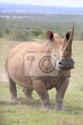 Постер Носороги Белый носорог вцепиться в бой в КенииНосороги<br>Постер на холсте или бумаге. Любого нужного вам размера. В раме или без. Подвес в комплекте. Трехслойная надежная упаковка. Доставим в любую точку России. Вам осталось только повесить картину на стену!<br>