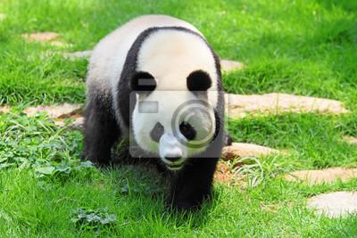 Panda, 30x20 см, на бумагеПанда<br>Постер на холсте или бумаге. Любого нужного вам размера. В раме или без. Подвес в комплекте. Трехслойная надежная упаковка. Доставим в любую точку России. Вам осталось только повесить картину на стену!<br>