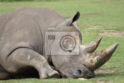 Постер Носороги