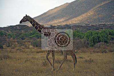 Постер Жирафы Жираф в КенииЖирафы<br>Постер на холсте или бумаге. Любого нужного вам размера. В раме или без. Подвес в комплекте. Трехслойная надежная упаковка. Доставим в любую точку России. Вам осталось только повесить картину на стену!<br>