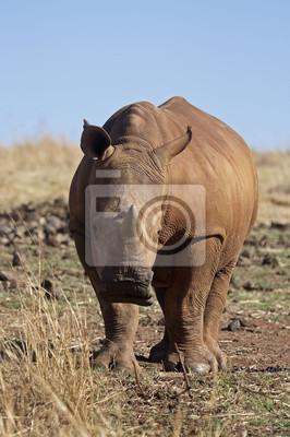 Close-up Белых молодых Rhinocerus; Ceratotherium simum, 20x30 см, на бумагеНосороги<br>Постер на холсте или бумаге. Любого нужного вам размера. В раме или без. Подвес в комплекте. Трехслойная надежная упаковка. Доставим в любую точку России. Вам осталось только повесить картину на стену!<br>