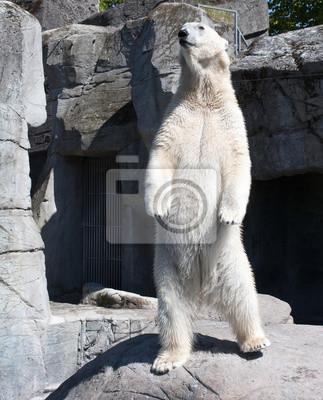 Постер Животные Полярный Медведь, 20x25 см, на бумагеМедведи<br>Постер на холсте или бумаге. Любого нужного вам размера. В раме или без. Подвес в комплекте. Трехслойная надежная упаковка. Доставим в любую точку России. Вам осталось только повесить картину на стену!<br>