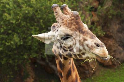 Постер Животные Хороший портрет жирафа есть траву и, вглядываясь, 30x20 см, на бумагеЖирафы<br>Постер на холсте или бумаге. Любого нужного вам размера. В раме или без. Подвес в комплекте. Трехслойная надежная упаковка. Доставим в любую точку России. Вам осталось только повесить картину на стену!<br>