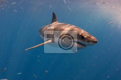 Постер Подводный мир Большая белая акула off Guedelupe Острова, Мексика, 30x20 см, на бумагеАкулы<br>Постер на холсте или бумаге. Любого нужного вам размера. В раме или без. Подвес в комплекте. Трехслойная надежная упаковка. Доставим в любую точку России. Вам осталось только повесить картину на стену!<br>