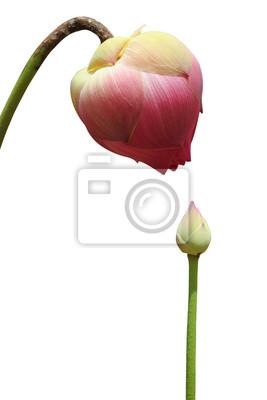 Постер Лотос Розовый цветок лотоса, изолированных на белом фонеЛотос<br>Постер на холсте или бумаге. Любого нужного вам размера. В раме или без. Подвес в комплекте. Трехслойная надежная упаковка. Доставим в любую точку России. Вам осталось только повесить картину на стену!<br>