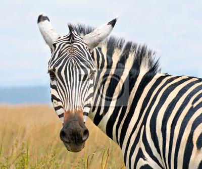 Постер Кения Крупным планом на zebra головой, глядя с любопытствомКения<br>Постер на холсте или бумаге. Любого нужного вам размера. В раме или без. Подвес в комплекте. Трехслойная надежная упаковка. Доставим в любую точку России. Вам осталось только повесить картину на стену!<br>