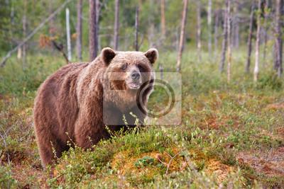 Бурый медведь на болоте, 30x20 см, на бумагеМедведи<br>Постер на холсте или бумаге. Любого нужного вам размера. В раме или без. Подвес в комплекте. Трехслойная надежная упаковка. Доставим в любую точку России. Вам осталось только повесить картину на стену!<br>