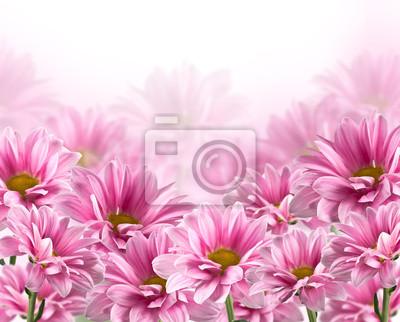 Постер Хризантемы Розовые цветущие цветы хризантемыХризантемы<br>Постер на холсте или бумаге. Любого нужного вам размера. В раме или без. Подвес в комплекте. Трехслойная надежная упаковка. Доставим в любую точку России. Вам осталось только повесить картину на стену!<br>
