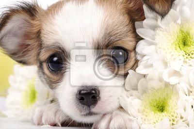 Постер Астры Очаровательны чихуахуа щенок с белым цветы макроАстры<br>Постер на холсте или бумаге. Любого нужного вам размера. В раме или без. Подвес в комплекте. Трехслойная надежная упаковка. Доставим в любую точку России. Вам осталось только повесить картину на стену!<br>