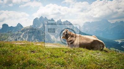 Корова отдыха на открытом воздухе, в горах. Доломитовые Альпы, Италия., 36x20 см, на бумагеКоровы<br>Постер на холсте или бумаге. Любого нужного вам размера. В раме или без. Подвес в комплекте. Трехслойная надежная упаковка. Доставим в любую точку России. Вам осталось только повесить картину на стену!<br>