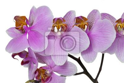 Постер Орхидеи Цветок розовой орхидеиОрхидеи<br>Постер на холсте или бумаге. Любого нужного вам размера. В раме или без. Подвес в комплекте. Трехслойная надежная упаковка. Доставим в любую точку России. Вам осталось только повесить картину на стену!<br>