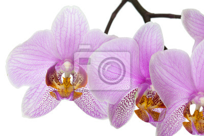 Цветок розовой орхидеи, 30x20 см, на бумагеОрхидеи<br>Постер на холсте или бумаге. Любого нужного вам размера. В раме или без. Подвес в комплекте. Трехслойная надежная упаковка. Доставим в любую точку России. Вам осталось только повесить картину на стену!<br>