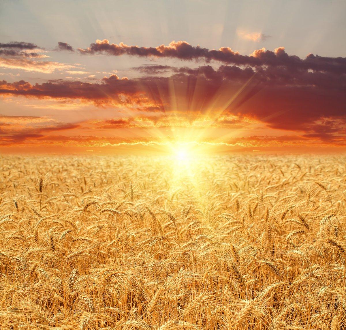 Постер Пейзаж равнинный Пшеничное поле на закатеПейзаж равнинный<br>Постер на холсте или бумаге. Любого нужного вам размера. В раме или без. Подвес в комплекте. Трехслойная надежная упаковка. Доставим в любую точку России. Вам осталось только повесить картину на стену!<br>
