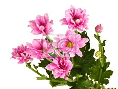 Постер Хризантемы Филиал красивые розовые хризантемыХризантемы<br>Постер на холсте или бумаге. Любого нужного вам размера. В раме или без. Подвес в комплекте. Трехслойная надежная упаковка. Доставим в любую точку России. Вам осталось только повесить картину на стену!<br>