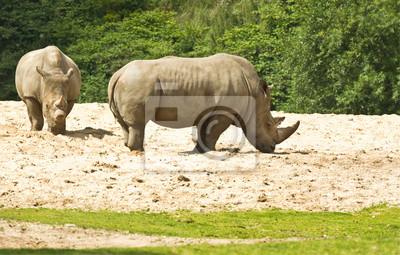 Белый носорог или Ceratotherium simum, 31x20 см, на бумагеНосороги<br>Постер на холсте или бумаге. Любого нужного вам размера. В раме или без. Подвес в комплекте. Трехслойная надежная упаковка. Доставим в любую точку России. Вам осталось только повесить картину на стену!<br>