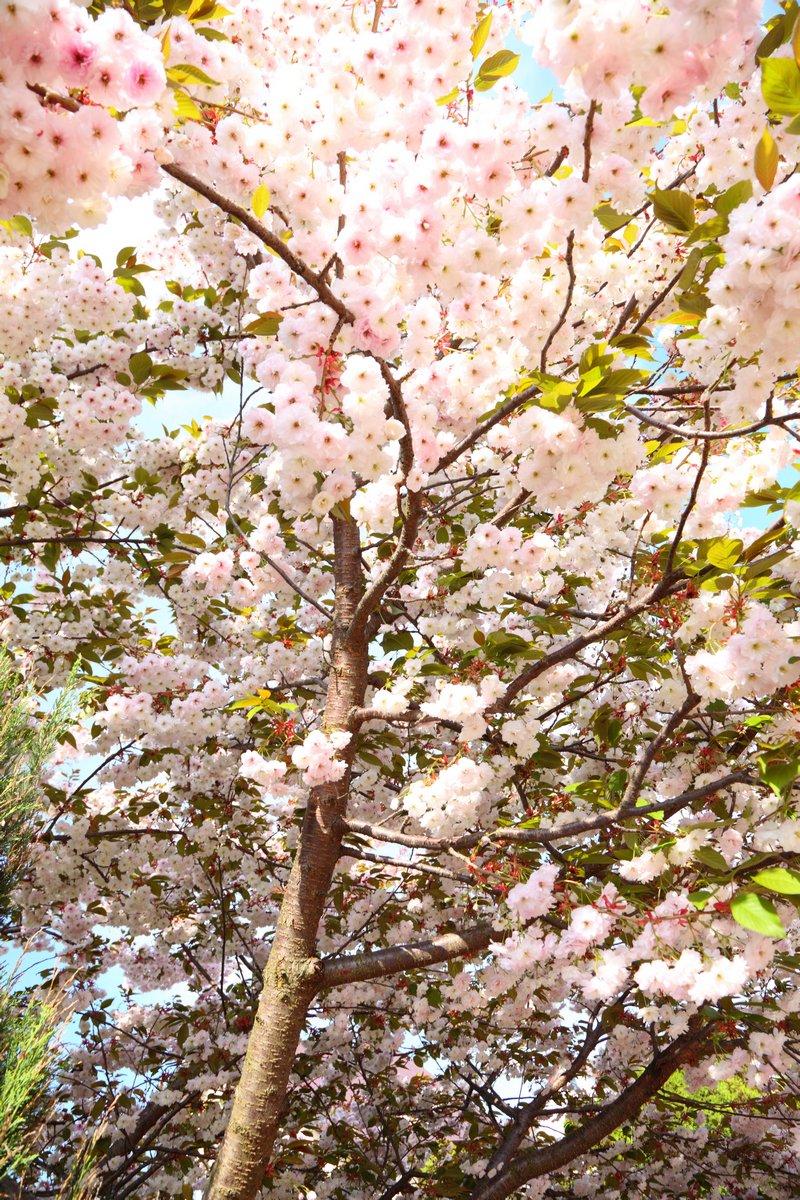 Постер Сакура Cherry blossomСакура<br>Постер на холсте или бумаге. Любого нужного вам размера. В раме или без. Подвес в комплекте. Трехслойная надежная упаковка. Доставим в любую точку России. Вам осталось только повесить картину на стену!<br>