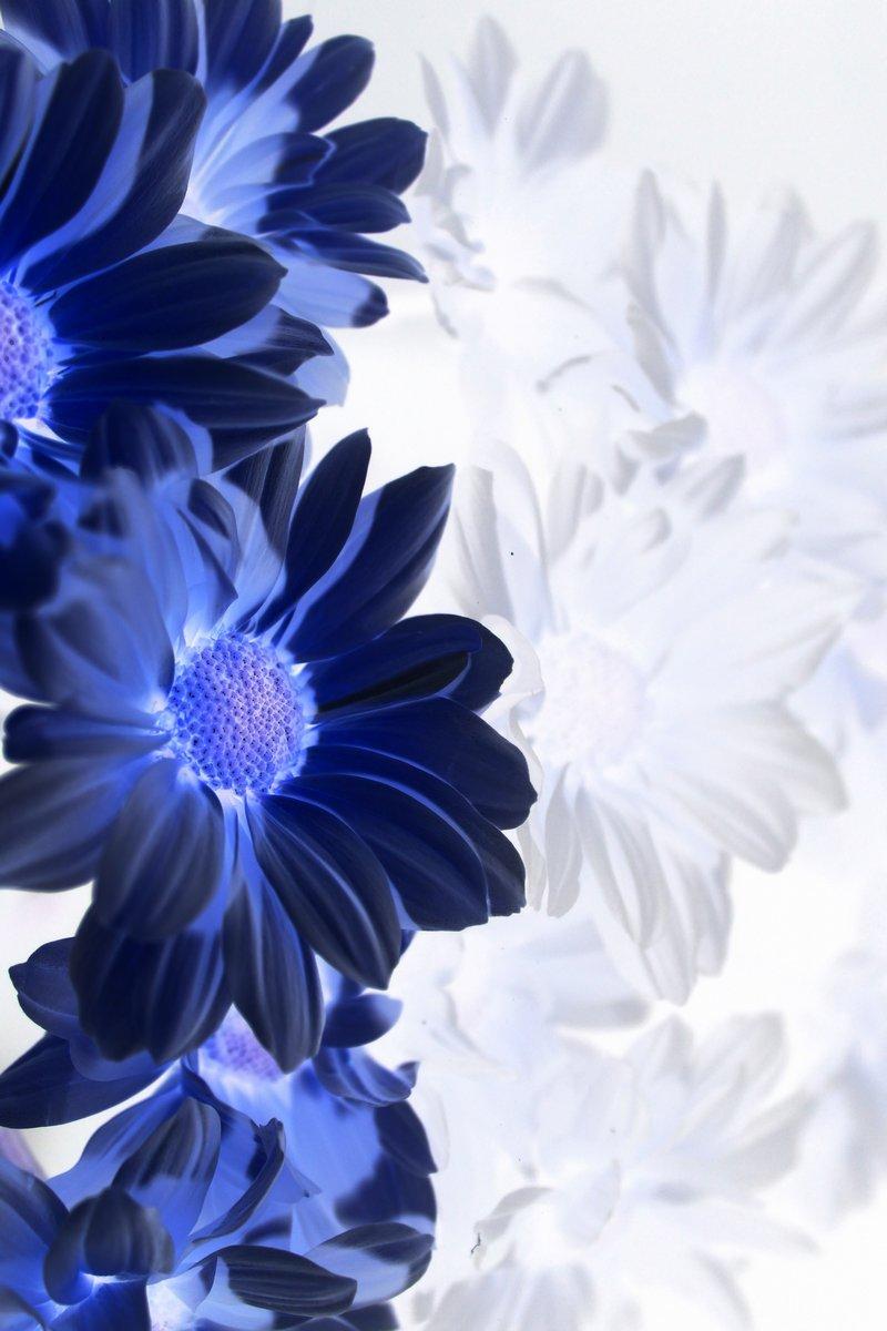 Постер Хризантемы Синие цветы на левой, словно или поздравительные открыткиХризантемы<br>Постер на холсте или бумаге. Любого нужного вам размера. В раме или без. Подвес в комплекте. Трехслойная надежная упаковка. Доставим в любую точку России. Вам осталось только повесить картину на стену!<br>