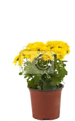 Постер Хризантемы Красивые желтые хризантемы в горшок изолированныеХризантемы<br>Постер на холсте или бумаге. Любого нужного вам размера. В раме или без. Подвес в комплекте. Трехслойная надежная упаковка. Доставим в любую точку России. Вам осталось только повесить картину на стену!<br>