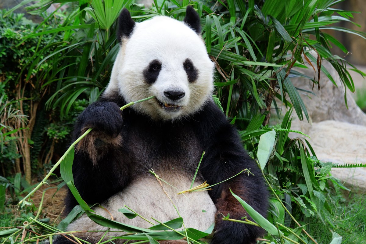 Постер Животные Гигантская панда медведь ест бамбука, 30x20 см, на бумагеПанда<br>Постер на холсте или бумаге. Любого нужного вам размера. В раме или без. Подвес в комплекте. Трехслойная надежная упаковка. Доставим в любую точку России. Вам осталось только повесить картину на стену!<br>