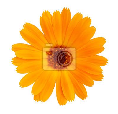 Постер Хризантемы Декоративные Дейзи яркий оранжевый цветХризантемы<br>Постер на холсте или бумаге. Любого нужного вам размера. В раме или без. Подвес в комплекте. Трехслойная надежная упаковка. Доставим в любую точку России. Вам осталось только повесить картину на стену!<br>