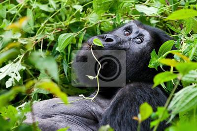 Постер Животные Горные Гориллы, в Bwindi Национальный парк в Уганде., 30x20 см, на бумагеОбезьяны<br>Постер на холсте или бумаге. Любого нужного вам размера. В раме или без. Подвес в комплекте. Трехслойная надежная упаковка. Доставим в любую точку России. Вам осталось только повесить картину на стену!<br>