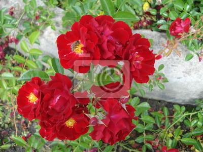 Постер Розы Красные розы в садуРозы<br>Постер на холсте или бумаге. Любого нужного вам размера. В раме или без. Подвес в комплекте. Трехслойная надежная упаковка. Доставим в любую точку России. Вам осталось только повесить картину на стену!<br>