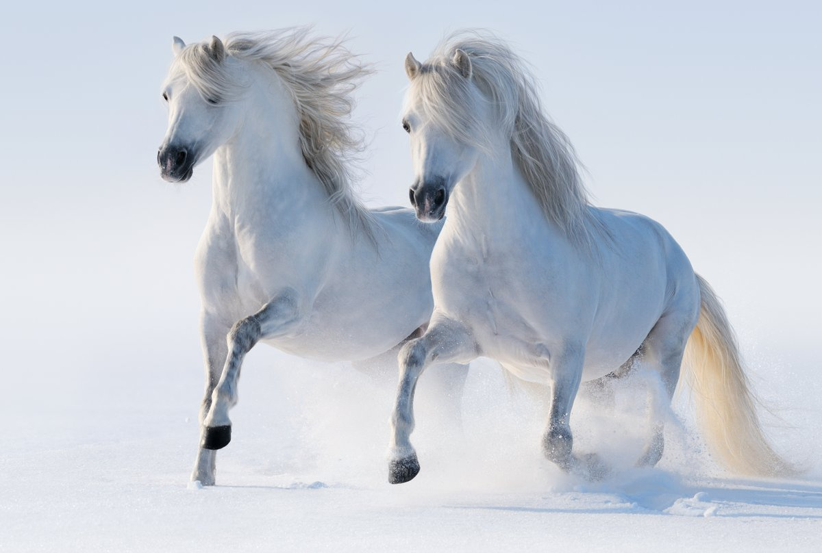 Постер Лошади Два галопом снежно-белые лошадиЛошади<br>Постер на холсте или бумаге. Любого нужного вам размера. В раме или без. Подвес в комплекте. Трехслойная надежная упаковка. Доставим в любую точку России. Вам осталось только повесить картину на стену!<br>