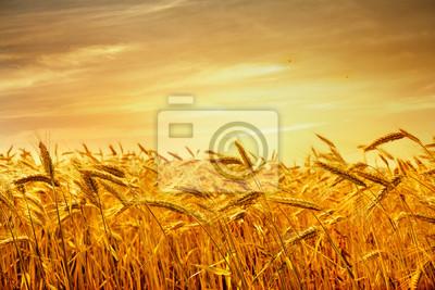 Постер Пейзаж равнинный Поле пшеницы в золотых лучах заката.Пейзаж равнинный<br>Постер на холсте или бумаге. Любого нужного вам размера. В раме или без. Подвес в комплекте. Трехслойная надежная упаковка. Доставим в любую точку России. Вам осталось только повесить картину на стену!<br>