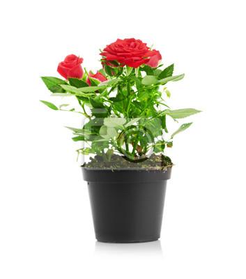 Постер Розы Красная Роза в цветочный горшокРозы<br>Постер на холсте или бумаге. Любого нужного вам размера. В раме или без. Подвес в комплекте. Трехслойная надежная упаковка. Доставим в любую точку России. Вам осталось только повесить картину на стену!<br>