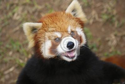 Постер Животные Красная панда, Гуанчжоу, Китай, 30x20 см, на бумагеПанда<br>Постер на холсте или бумаге. Любого нужного вам размера. В раме или без. Подвес в комплекте. Трехслойная надежная упаковка. Доставим в любую точку России. Вам осталось только повесить картину на стену!<br>