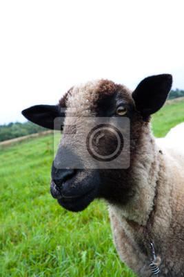 Черные волосы овец голову, 20x30 см, на бумагеОвцы<br>Постер на холсте или бумаге. Любого нужного вам размера. В раме или без. Подвес в комплекте. Трехслойная надежная упаковка. Доставим в любую точку России. Вам осталось только повесить картину на стену!<br>