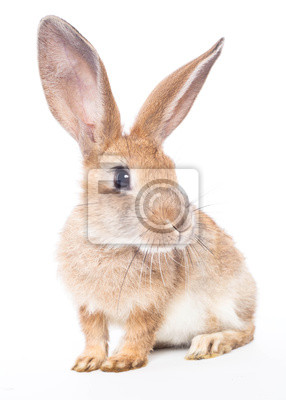 Постер Кролики Красный кроликКролики<br>Постер на холсте или бумаге. Любого нужного вам размера. В раме или без. Подвес в комплекте. Трехслойная надежная упаковка. Доставим в любую точку России. Вам осталось только повесить картину на стену!<br>