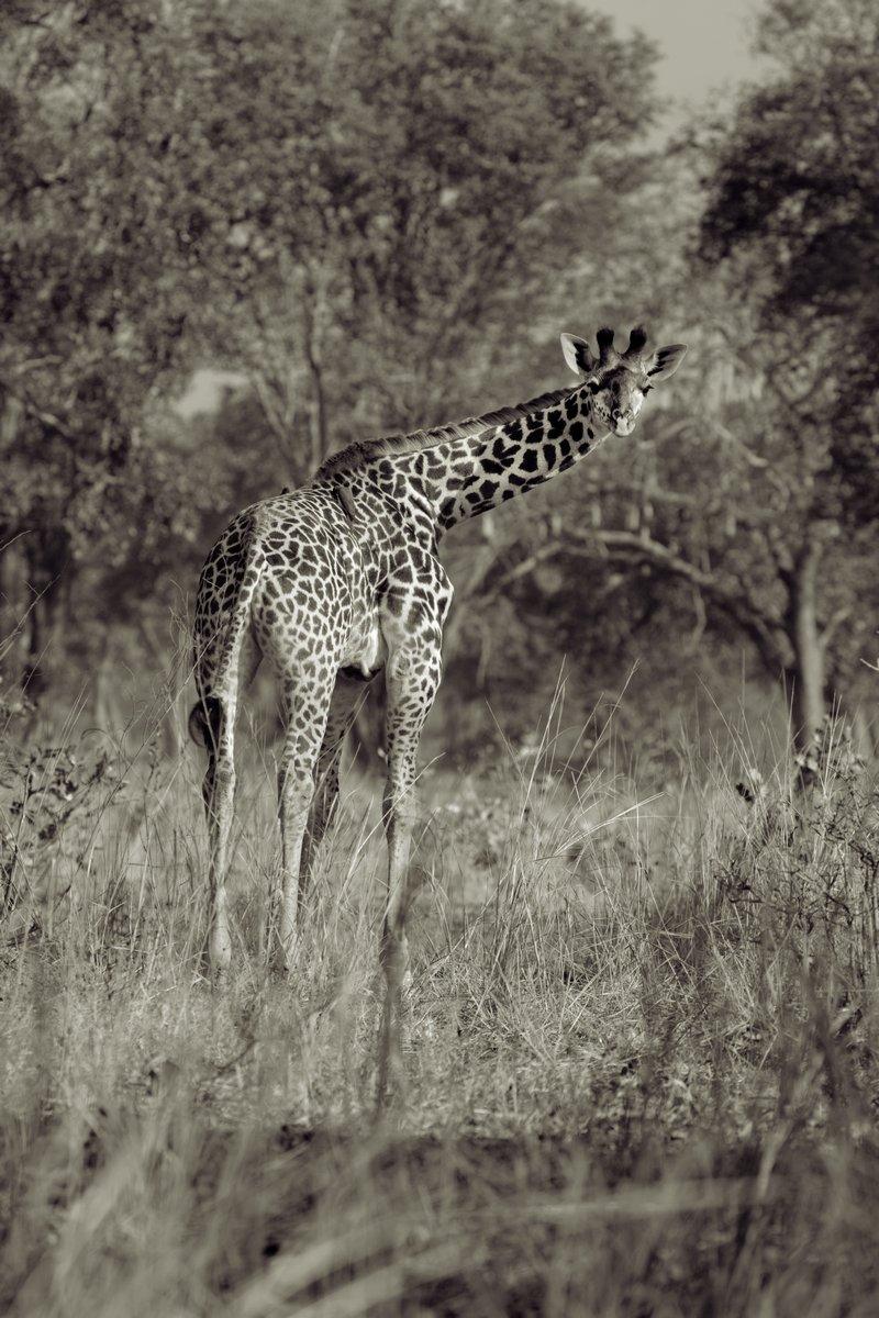 Постер Животные Жирафа, 20x30 см, на бумагеЖирафы<br>Постер на холсте или бумаге. Любого нужного вам размера. В раме или без. Подвес в комплекте. Трехслойная надежная упаковка. Доставим в любую точку России. Вам осталось только повесить картину на стену!<br>