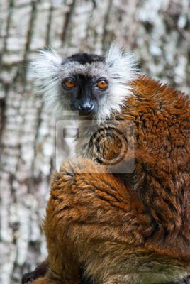 Lemure macaco, 20x30 см, на бумагеЛемуры<br>Постер на холсте или бумаге. Любого нужного вам размера. В раме или без. Подвес в комплекте. Трехслойная надежная упаковка. Доставим в любую точку России. Вам осталось только повесить картину на стену!<br>