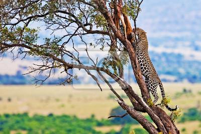 Постер Кения Дикий леопард на маасаи Мара, Кения, АфрикаКения<br>Постер на холсте или бумаге. Любого нужного вам размера. В раме или без. Подвес в комплекте. Трехслойная надежная упаковка. Доставим в любую точку России. Вам осталось только повесить картину на стену!<br>