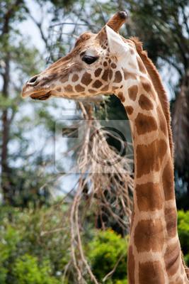Постер Жирафы Жираф в Зоопарк ТаронгаЖирафы<br>Постер на холсте или бумаге. Любого нужного вам размера. В раме или без. Подвес в комплекте. Трехслойная надежная упаковка. Доставим в любую точку России. Вам осталось только повесить картину на стену!<br>