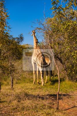Постер Жирафы Жирафы ходьбаЖирафы<br>Постер на холсте или бумаге. Любого нужного вам размера. В раме или без. Подвес в комплекте. Трехслойная надежная упаковка. Доставим в любую точку России. Вам осталось только повесить картину на стену!<br>