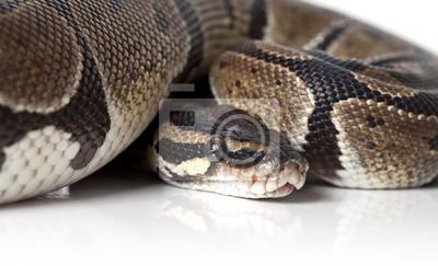Постер Рептилии Портрет python змея крупным планомРептилии<br>Постер на холсте или бумаге. Любого нужного вам размера. В раме или без. Подвес в комплекте. Трехслойная надежная упаковка. Доставим в любую точку России. Вам осталось только повесить картину на стену!<br>