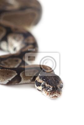 Постер Рептилии Портрет Python змеяРептилии<br>Постер на холсте или бумаге. Любого нужного вам размера. В раме или без. Подвес в комплекте. Трехслойная надежная упаковка. Доставим в любую точку России. Вам осталось только повесить картину на стену!<br>