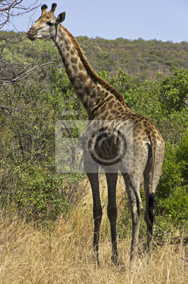 Постер Животные Giraf в Африке, 20x30 см, на бумагеЖирафы<br>Постер на холсте или бумаге. Любого нужного вам размера. В раме или без. Подвес в комплекте. Трехслойная надежная упаковка. Доставим в любую точку России. Вам осталось только повесить картину на стену!<br>