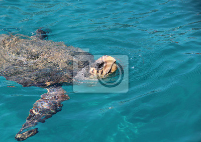 Постер Черепахи Большие морские черепахи floatЧерепахи<br>Постер на холсте или бумаге. Любого нужного вам размера. В раме или без. Подвес в комплекте. Трехслойная надежная упаковка. Доставим в любую точку России. Вам осталось только повесить картину на стену!<br>