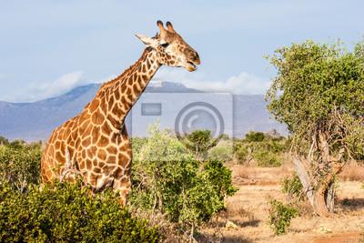 Постер Животные Бесплатная Жирафа в Кении, 30x20 см, на бумагеЖирафы<br>Постер на холсте или бумаге. Любого нужного вам размера. В раме или без. Подвес в комплекте. Трехслойная надежная упаковка. Доставим в любую точку России. Вам осталось только повесить картину на стену!<br>