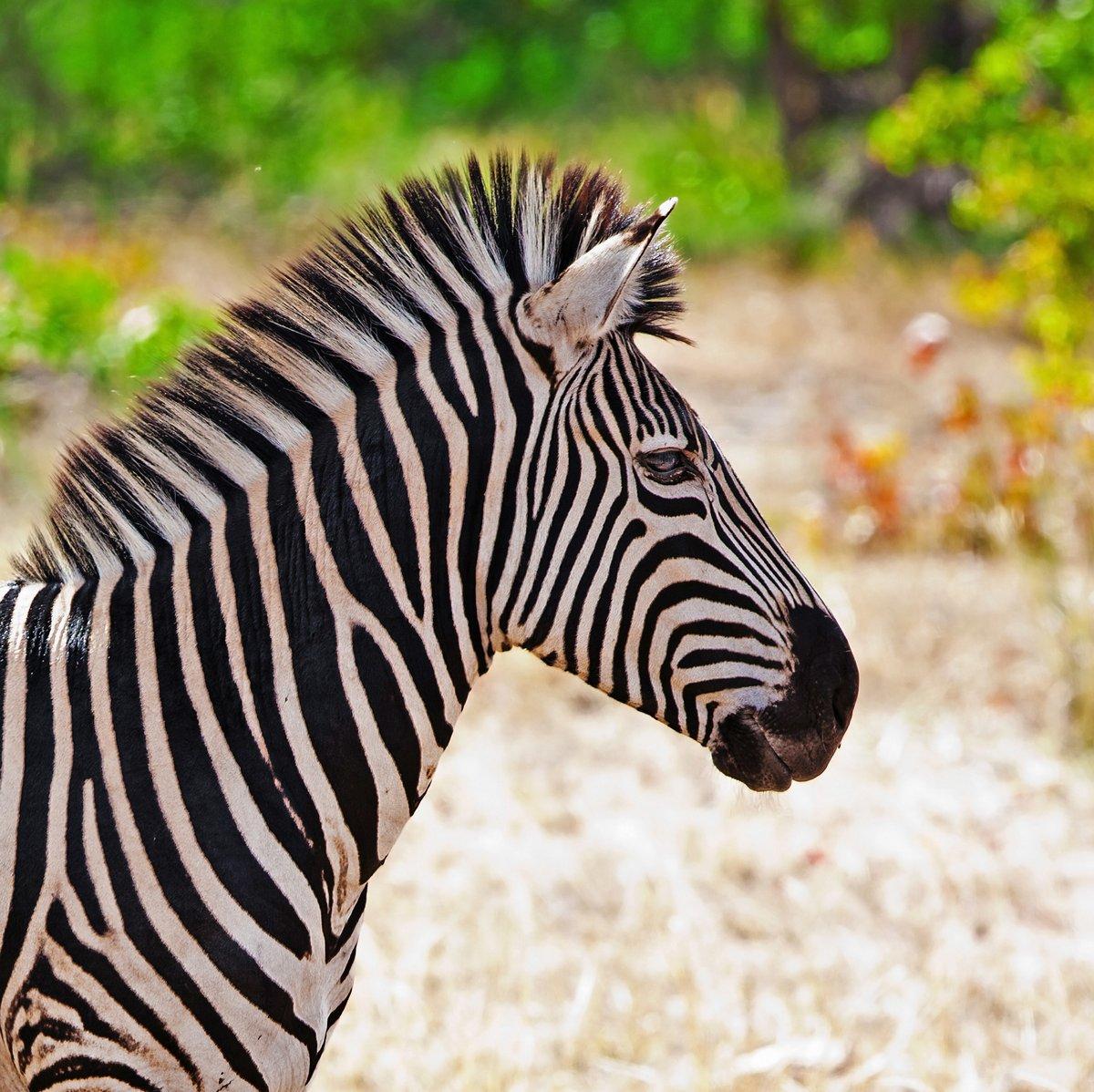Постер Животные Зебра в Kruger National Park, Южная Африка, 20x20 см, на бумагеЗебры<br>Постер на холсте или бумаге. Любого нужного вам размера. В раме или без. Подвес в комплекте. Трехслойная надежная упаковка. Доставим в любую точку России. Вам осталось только повесить картину на стену!<br>