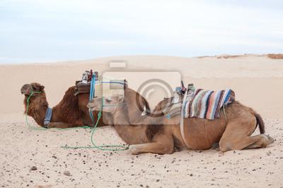 Постер Верблюды Отдыхал верблюдов верблюдах в пустыне сахара,Верблюды<br>Постер на холсте или бумаге. Любого нужного вам размера. В раме или без. Подвес в комплекте. Трехслойная надежная упаковка. Доставим в любую точку России. Вам осталось только повесить картину на стену!<br>